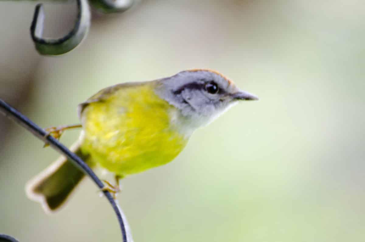 Yellow-breasted Antwren, Bellavista Cloud Forest Reserve, Tandayapa Valley, Ecuador