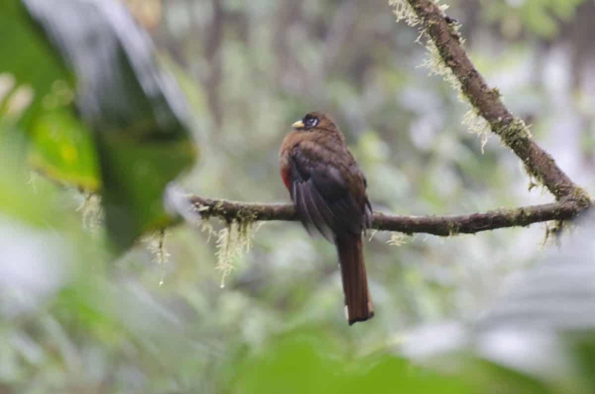Female Masked Trogon; Bellavista Reserve, Tandayapa, Ecuador | ©Angela Drake