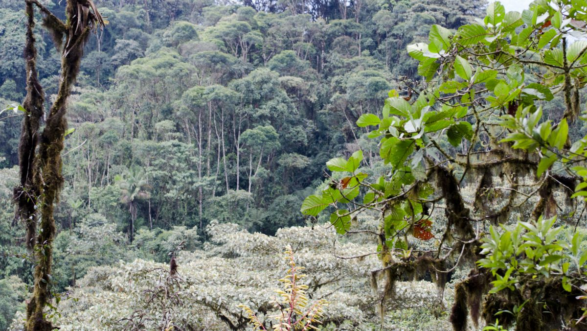Looking across at primary forest from an opening in the trail; Bellavista Reserve, Tandayapa, Ecuador | ©Angela Drake