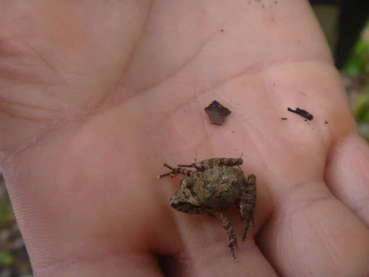 A small frog on a Bellavista hiking trail; Tandayapa, Ecuador | ©Angela Drake