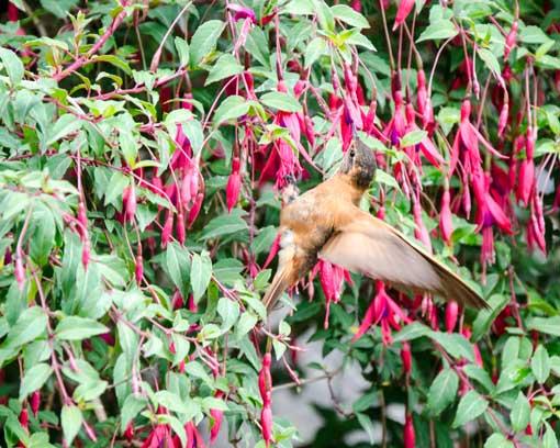 A Shining Sunbeam Hummingbird photographed just outside the main pools; Papallacta, Ecuador | ©Angela Drake