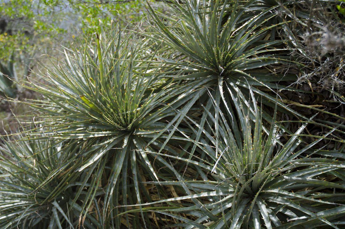 Aloe vera! This desert is full of useful plants | ©Angela Drake