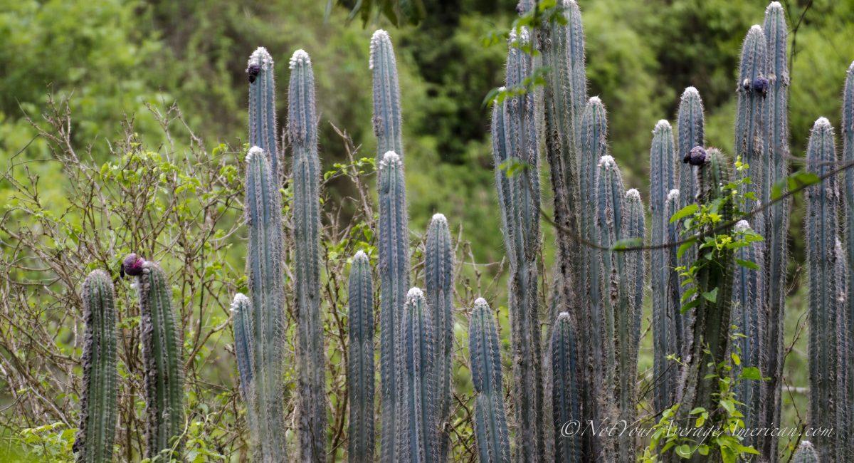 Cactus, Chirije Dry Forest, Coastal Ecuador