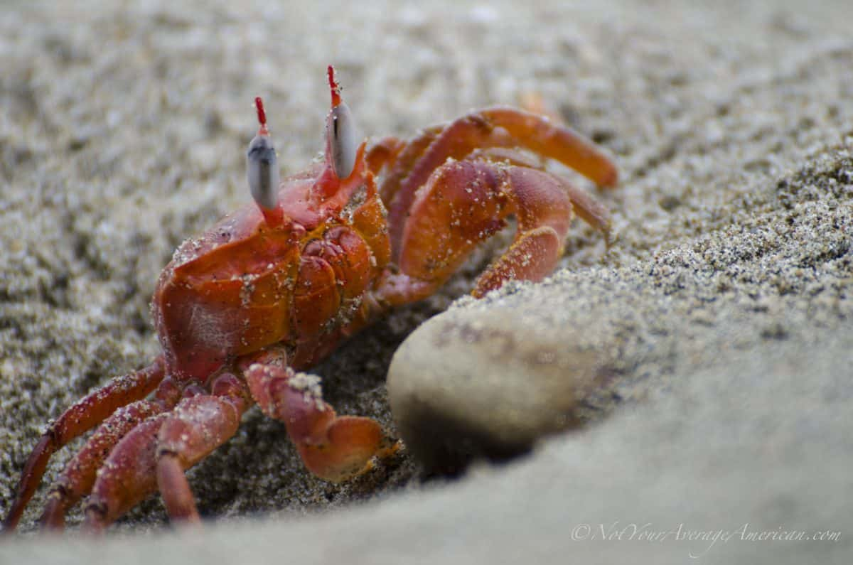 Crabs were everywhere! | Chirije, Manabi, Ecuador | ©Angela Drake