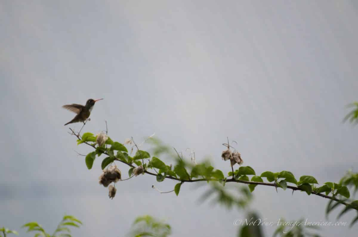 An Amazilia Hummingbird, Chirije Lodge, Manabi, Ecuador