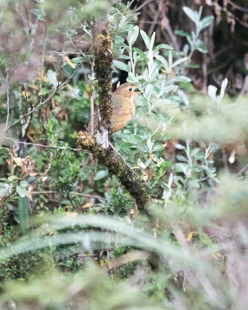 Unidentified Bird; Cayambe-Coca National Park, Papallacta Entrance, Ecuador   ©Angela Drake