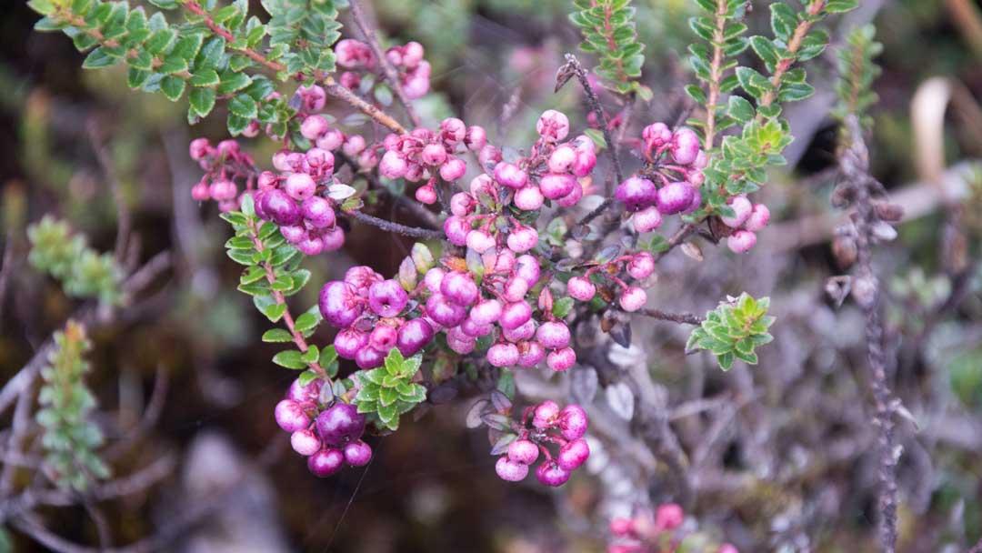Pink Berries; Coca Cayambe National Park, Papallacta Entrance, Ecuador   ©Angela Drake