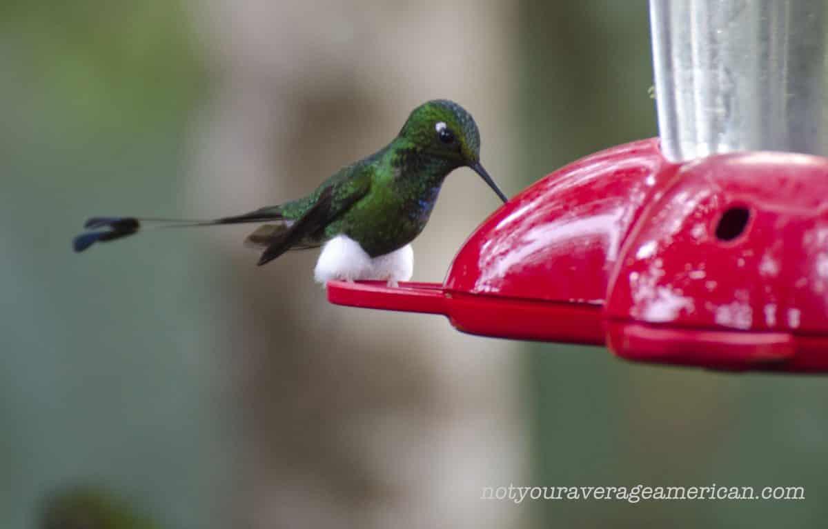 Booted Racket-tail Hummingbird, Bellavista, Tandayapa, Ecuador   ©Angela Drake