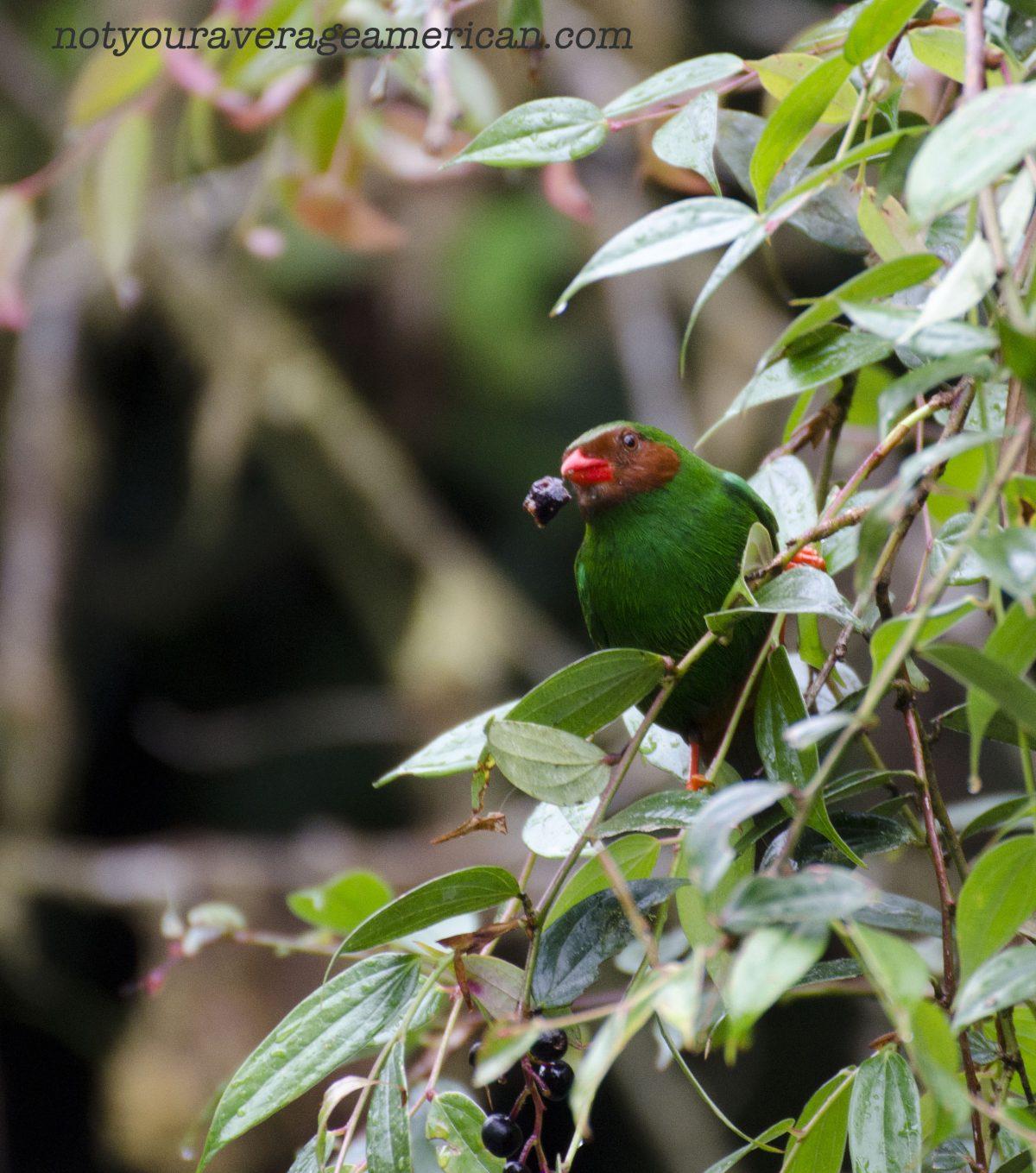 Grass-green Tanager enjoys breakfast; Bellavista Reserve, Tandayapa, Ecuador | ©Angela Drake