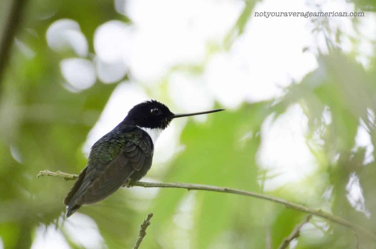 A Collared-Inca Hummingbird;  Panticucho, Baños, Ecuador | ©Angela Drake
