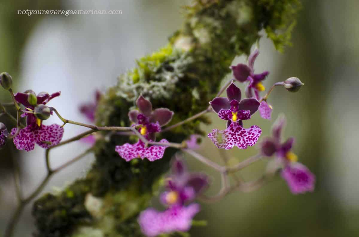 Even though it was not orchid season, some were in bloom. Herminia said there are many more to come in December! | ©Angela Drake