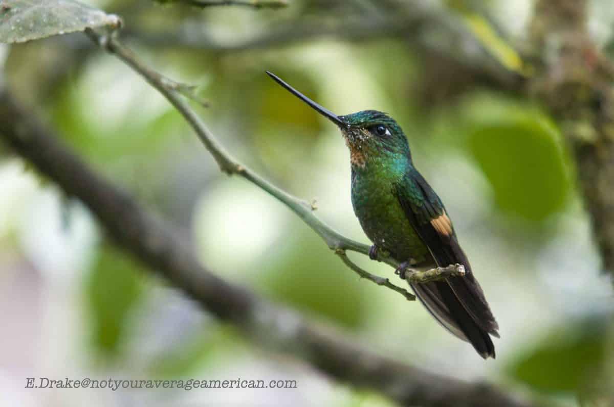 Close-up of a Buff-winged Starfrontlet Hummingbird; Panticucho, Baños, Ecuador | ©Ernest Drake