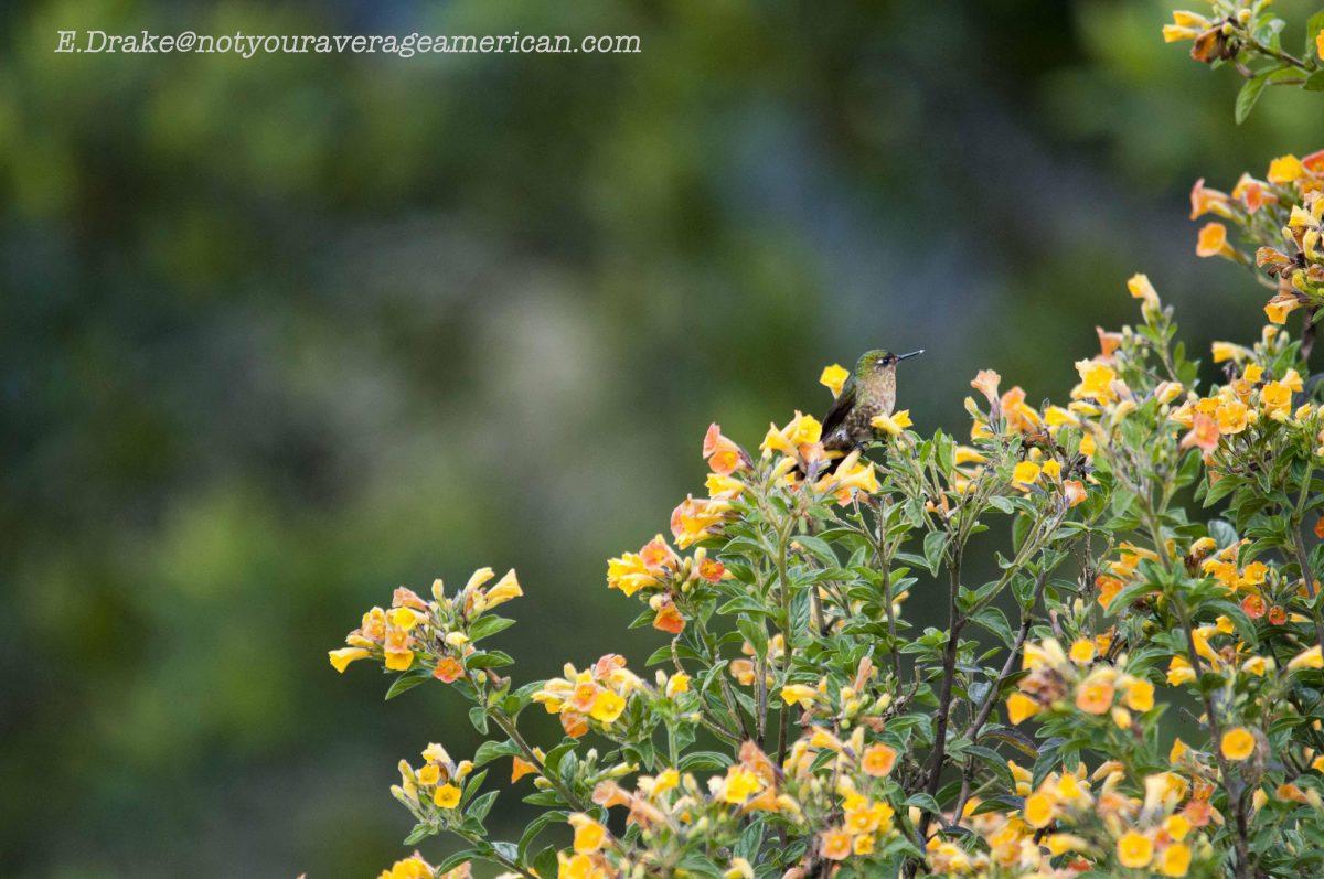 An unidentified Hummingbird in flowering bushes; Panticucho, Baños, Ecuador | ©Ernest Drake
