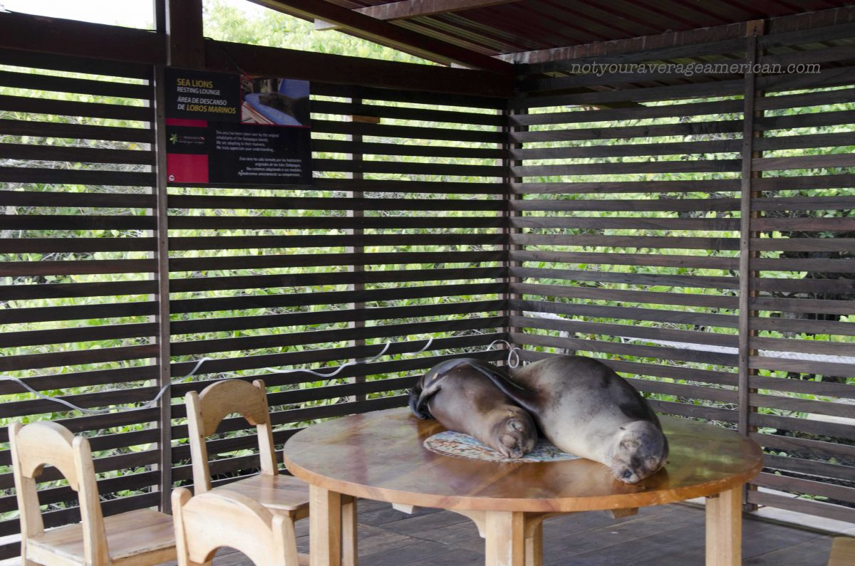Sea Lions on the Table. What a shock! | ©Angela Drake