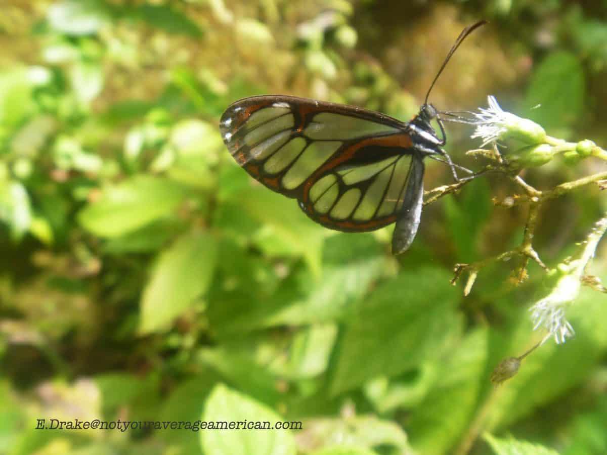 Clear-winged Butterfly, The Pailón del Diablo, Baños, Ecuador