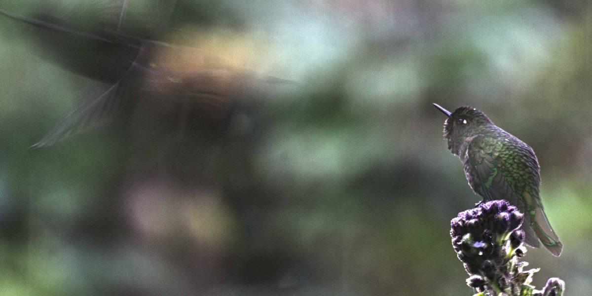 Tyrian Metaltail, Papallacta Hot Springs, Ecuador