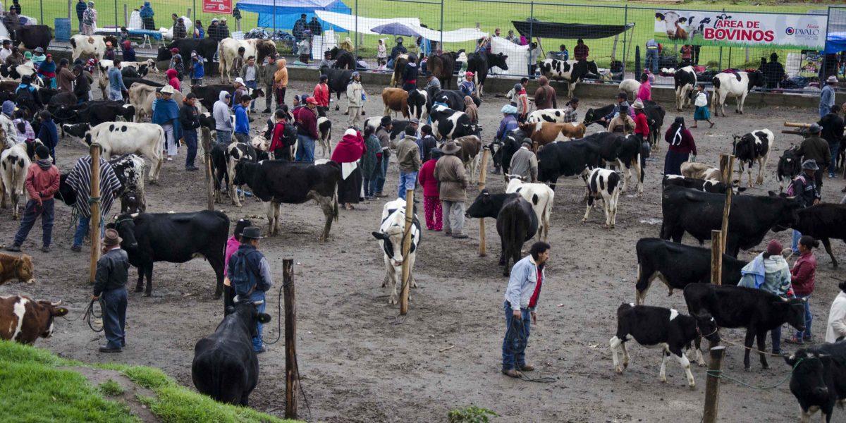 Selling cows at the animal market, Otavalo, Ecuador | ©Angela Drake
