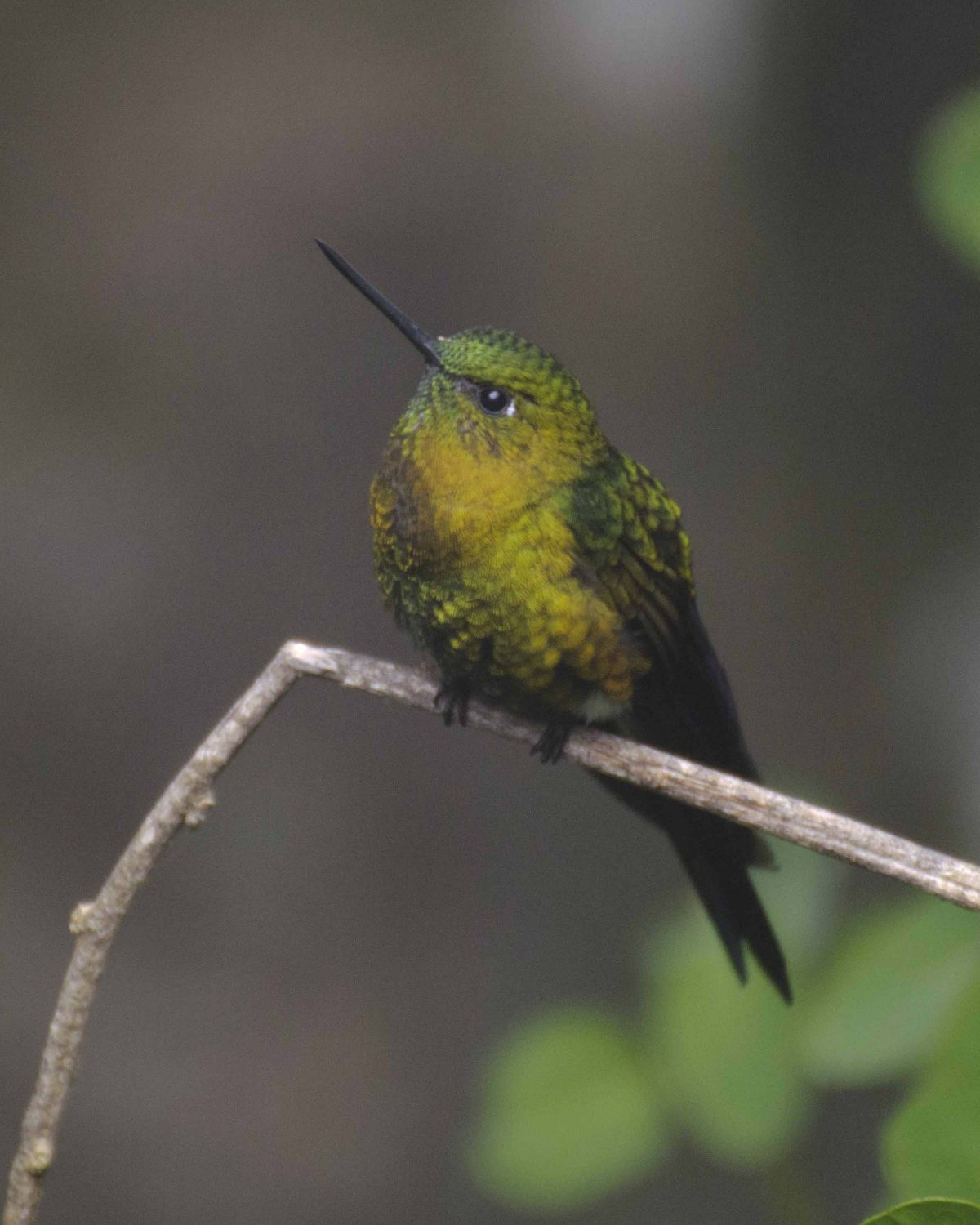 The Golden-breasted Puffleg can look very small when perched   ©Angela Drake