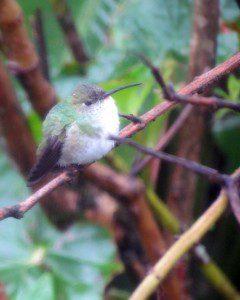 A very tiny hummingbird