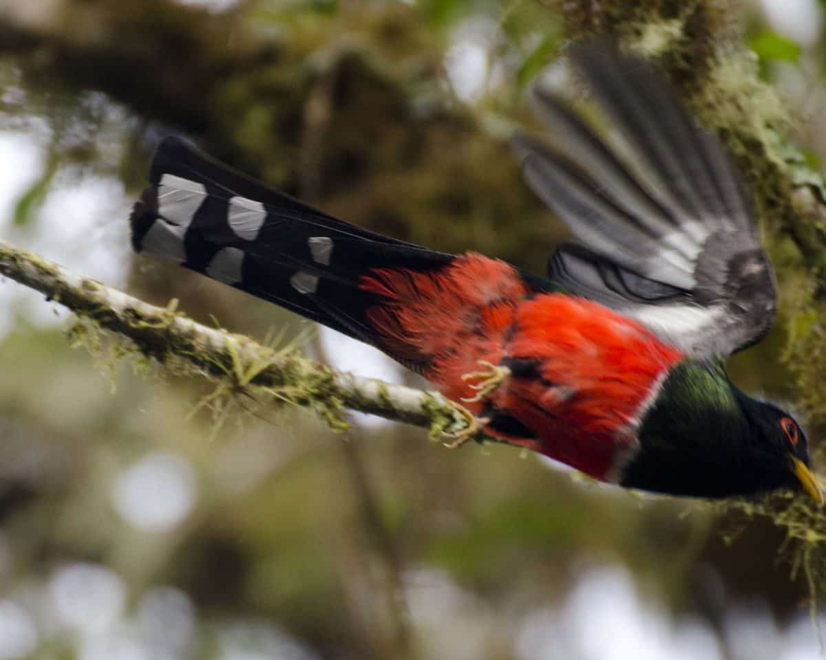 A male Masked Trogon barely caught in flight   ©Angela Drake