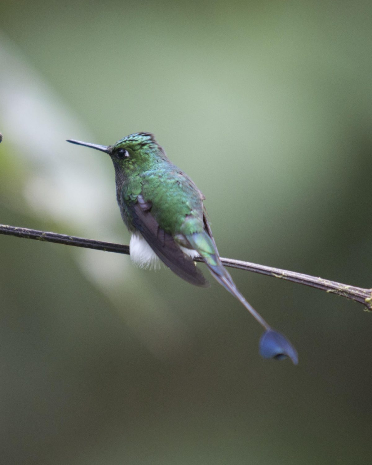 The West-Slope variant of the Booted Racket-tail. Check out his white cotton ball legs; San Jorge de Tandayapa, Ecuador | ©Angela Drake