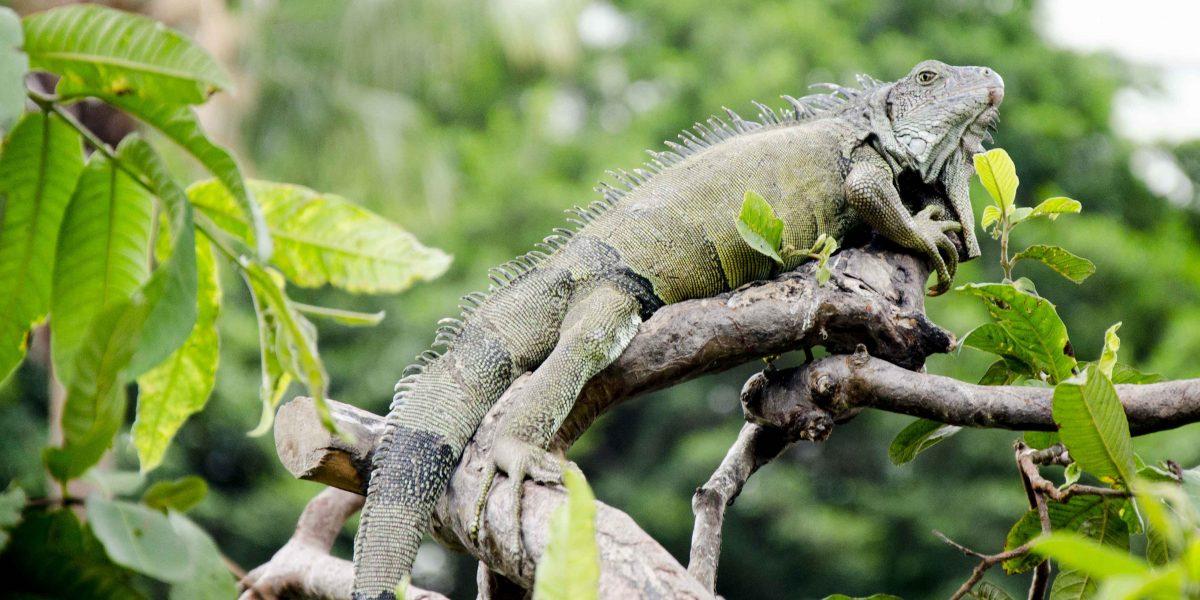 Iguana in Tree, Parque Seminario, Guayaquil, Ecuador | ©Angela Drake