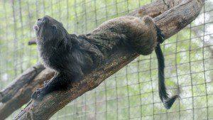 Stretching Tamarin