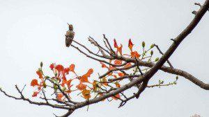 Amazalia Hummingbird