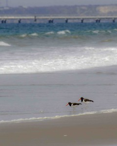 A Pair of Oyster Catchers