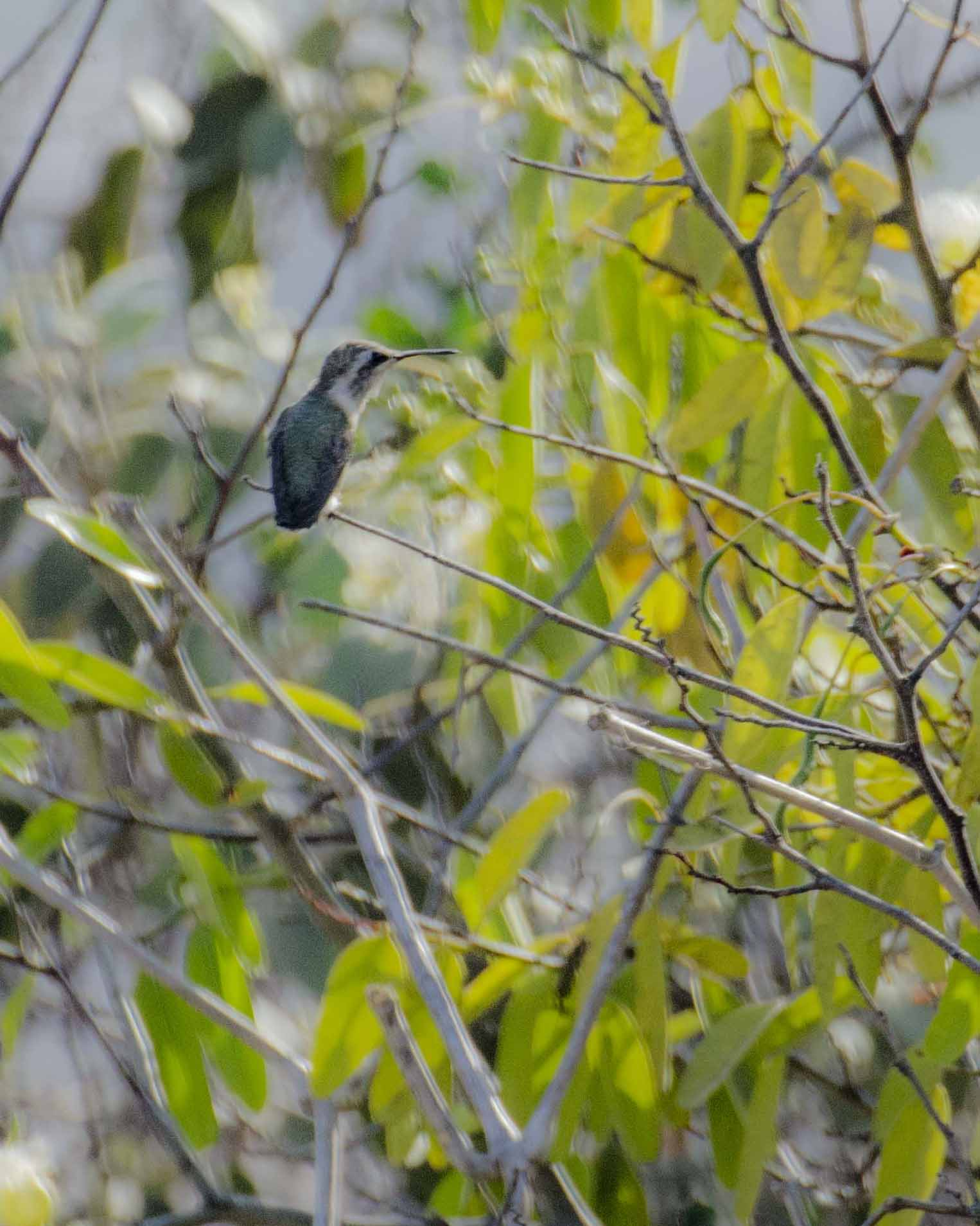 A female Short-tailed Woodstar Hummingbird, Salinas, Ecuador