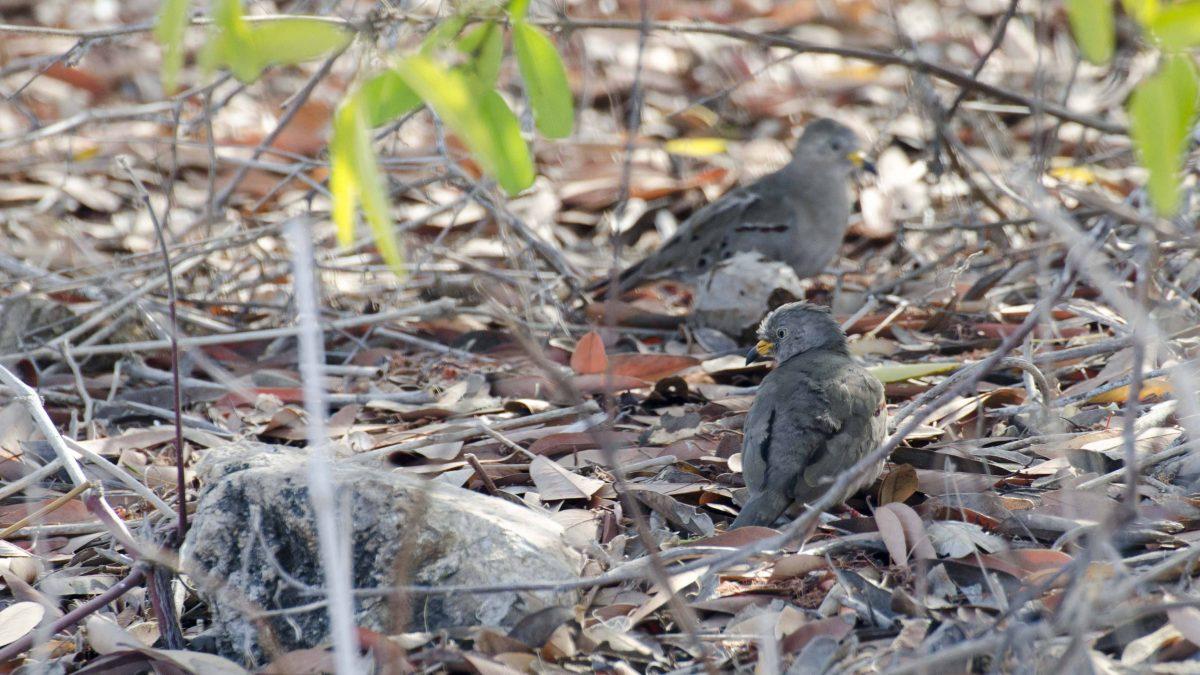 Croaking Ground Doves, Salinas, Ecuador