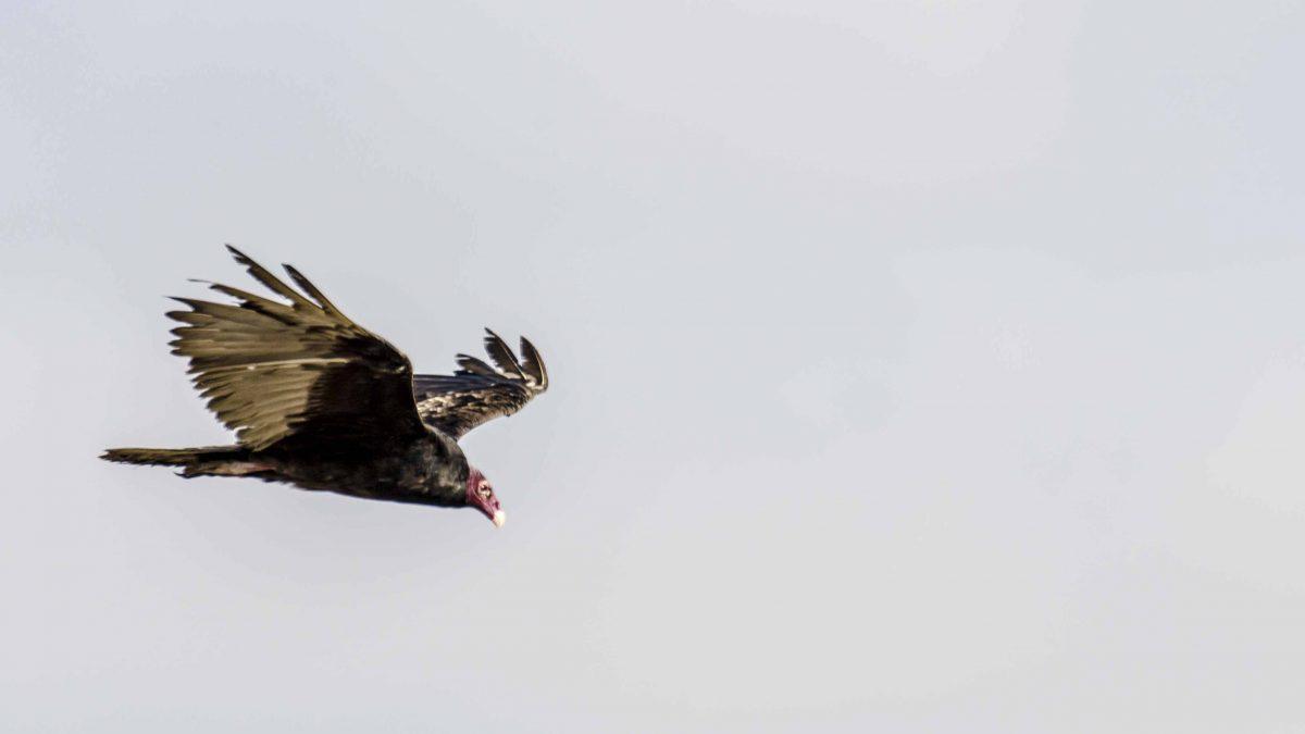 Turkey Vulture, Salinas, Ecuador