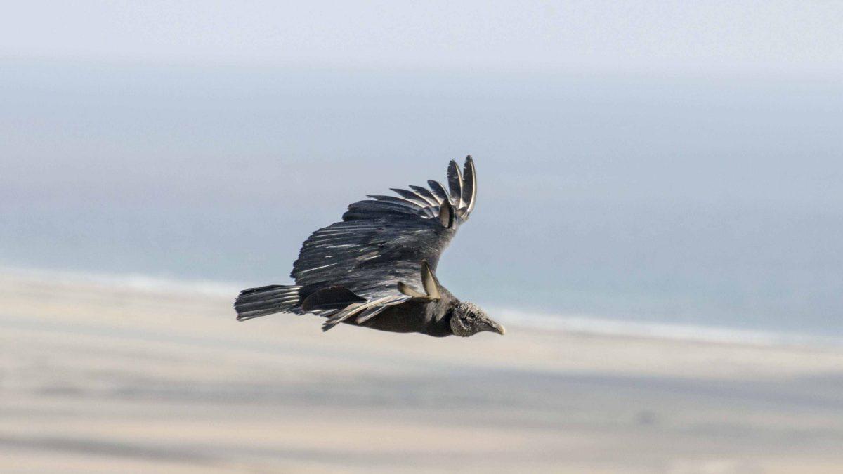 A Black Vulture, Salinas, Ecuador