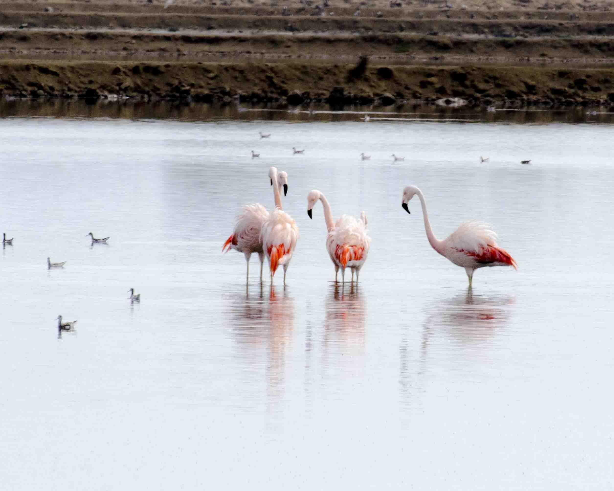 Flamingos in Salinas
