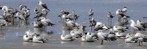 Gulls Galore
