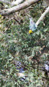 Saffron-crowned Tanager