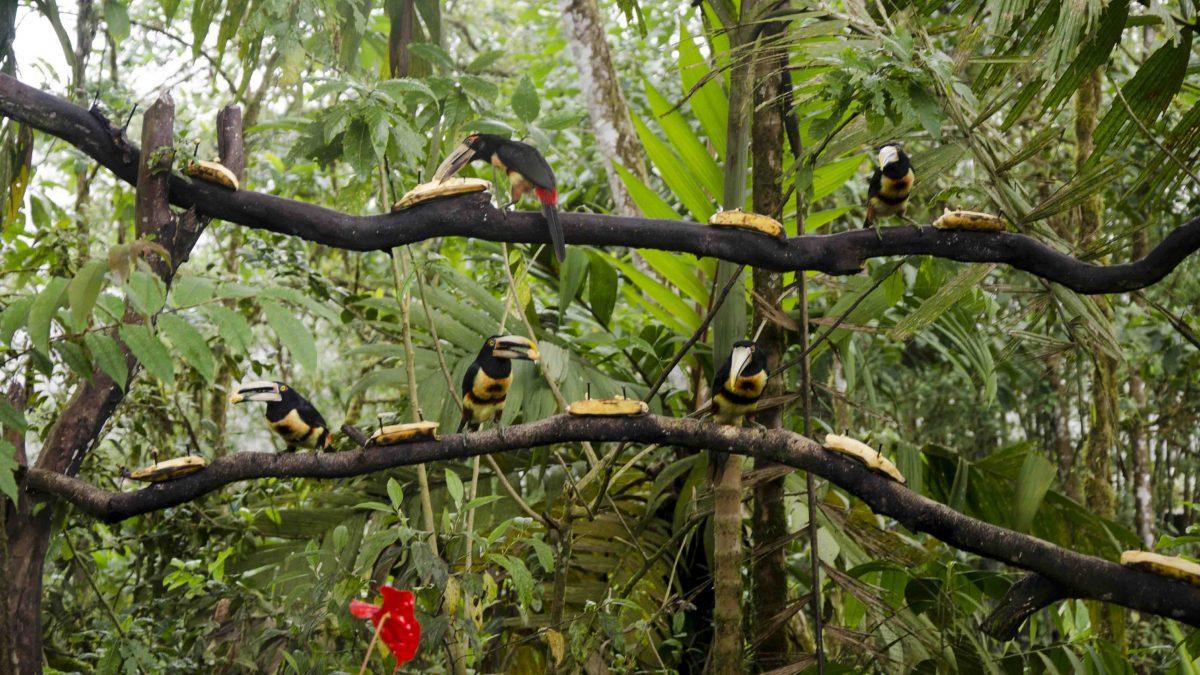 Pale-mandibled Aracari (or Toucans to most folks), San Miguel de los Bancos, Ecuador