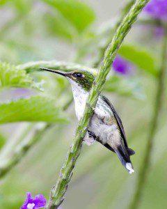 Female Purple-bibbed Whitetip Hummingbird
