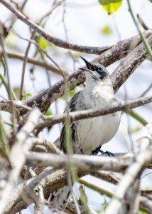 Galapagos Mockingbird, Interpretation Center, San Cristobal