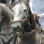 Horse in the Parade for Cacería del Zorro