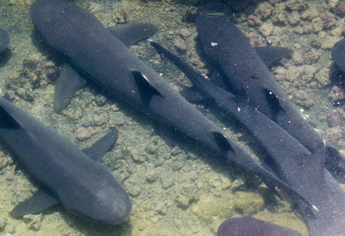 White-tip Reef Sharks seen at Las Tintoreras, Isla Isabela, the Galapagos.
