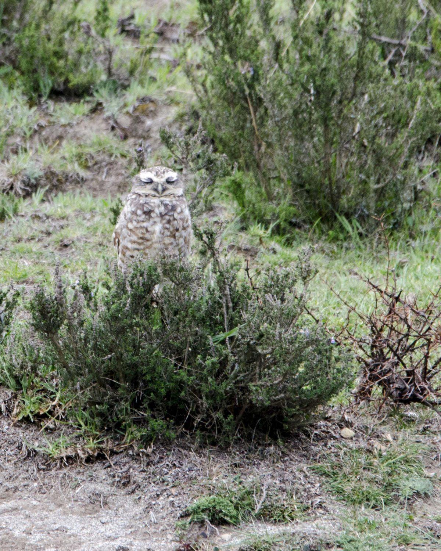 Burrowing Owl; Cochasqui, Pichincha, Ecuador | ©Angela Drake / Not Your Average American