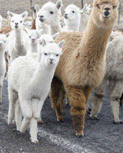 Llamingos (or Alpacas)