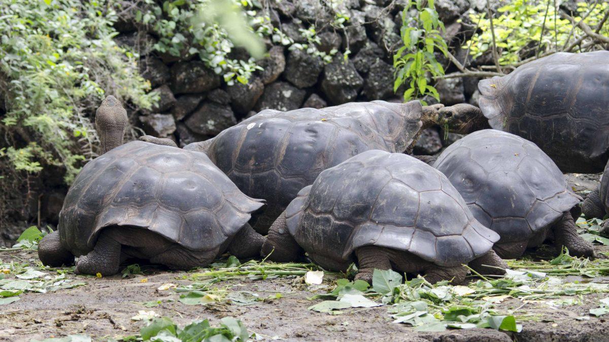 Galapagos Tortoises, Charles Darwin Research Center, San Cruz Island, The Galapagos