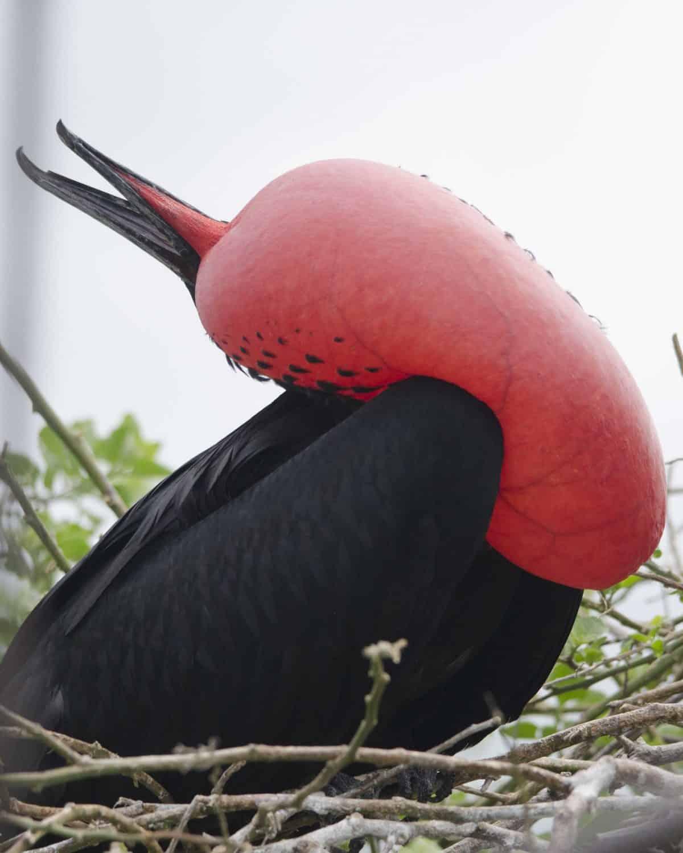 Magnificent Frigatebird, San Cristobal, the Galapagos