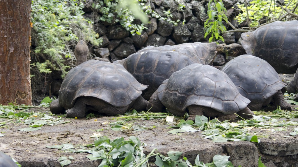 Captive Tortoises at the Charles Darwin Center