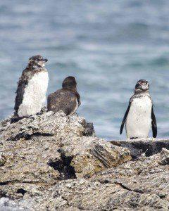 Penguins at Los Tuneles
