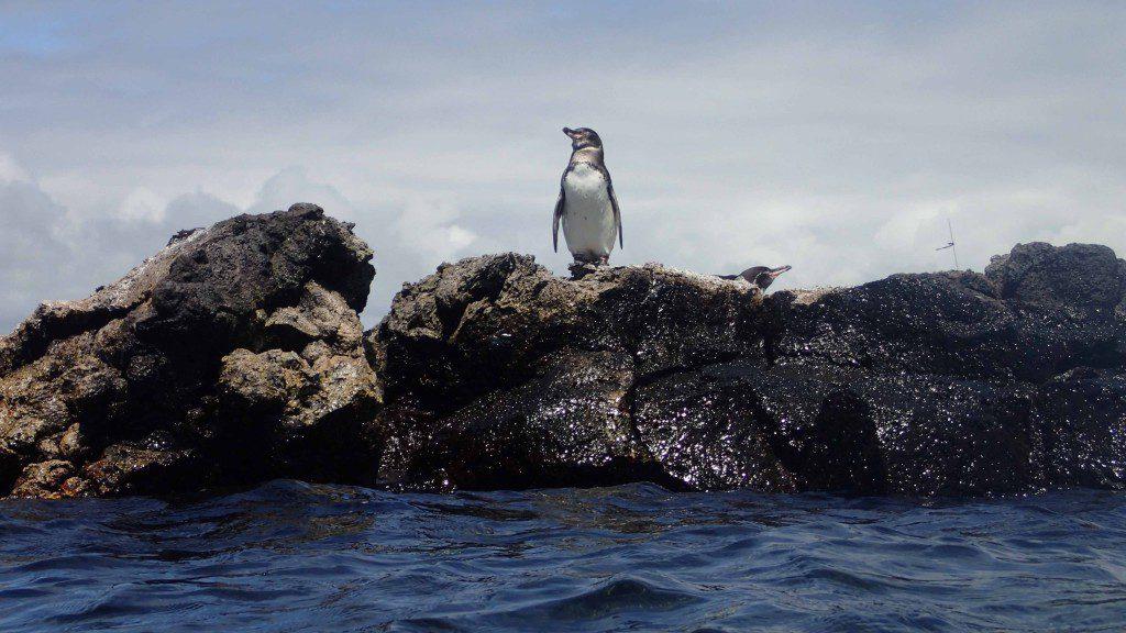 A Galapagos Penguin