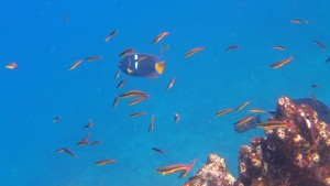 A King Angelfish with smaller Sabertooth Blennies