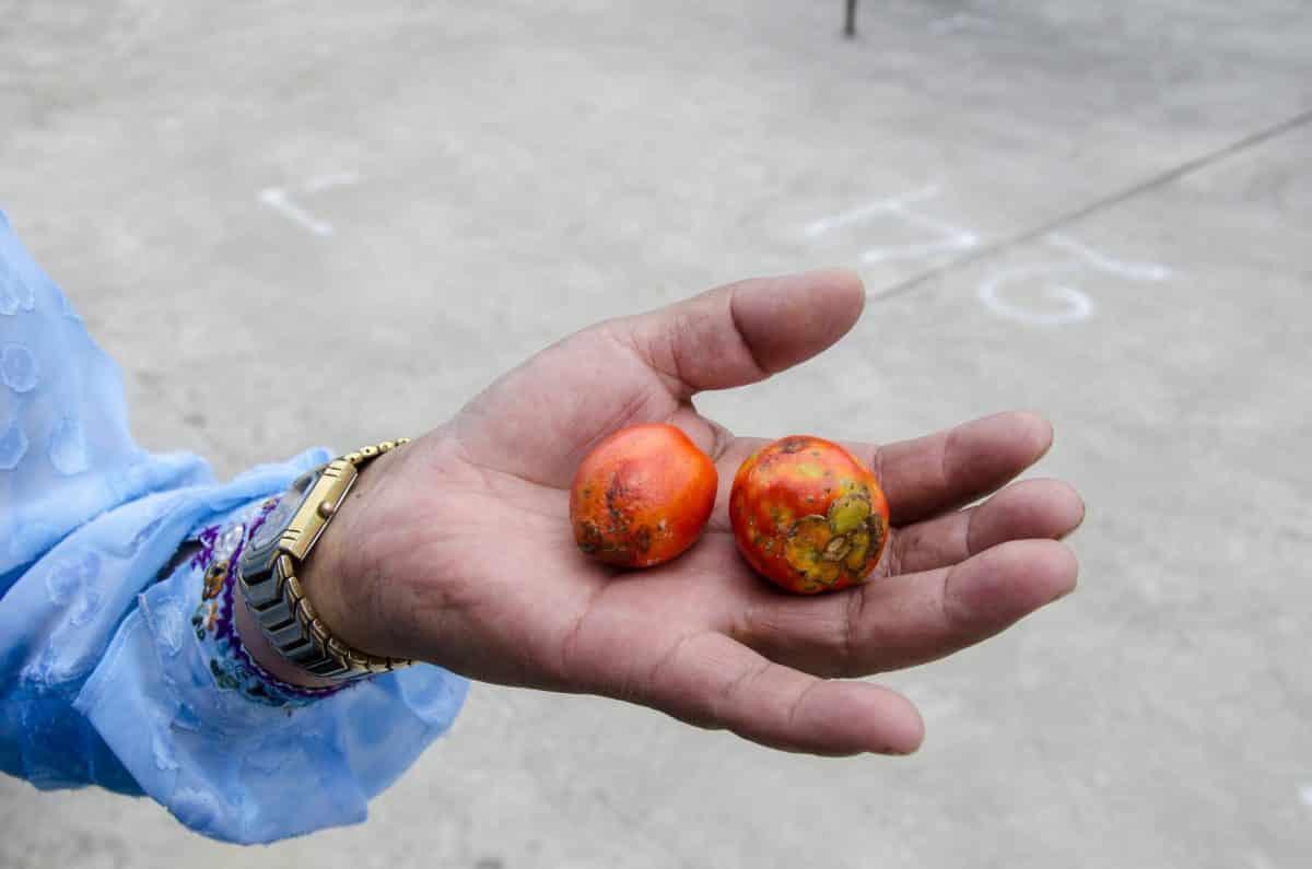 Chonta, fruit of a palm tree